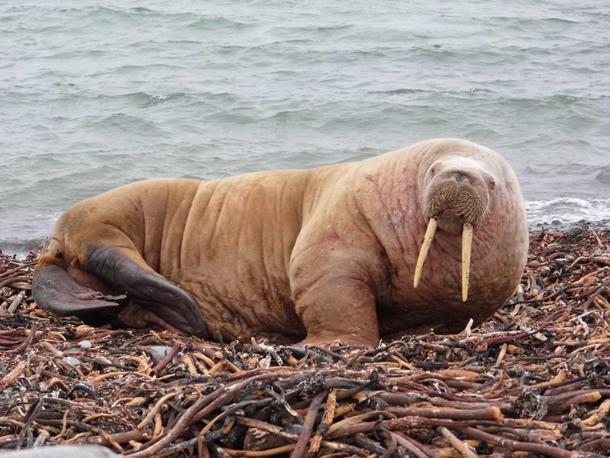North Ron Walrus