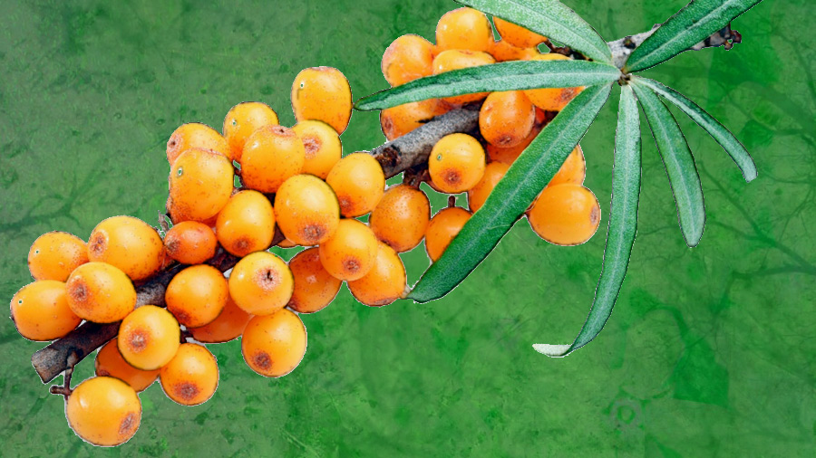Frontiers magazine trying out sea buckthorn in north ronaldsay - Growing sea buckthorn ...