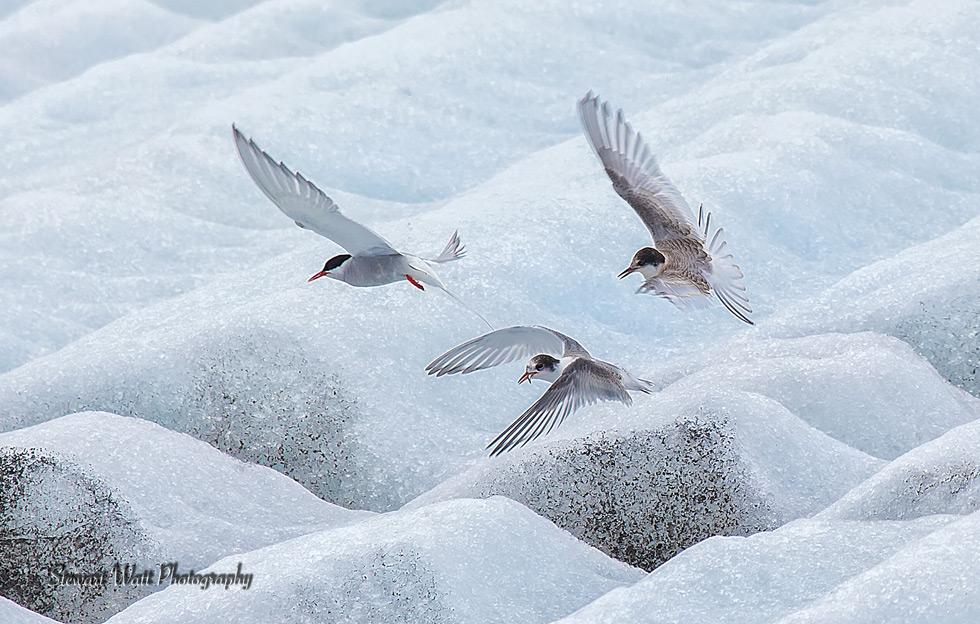 16-Terns-on-Ice