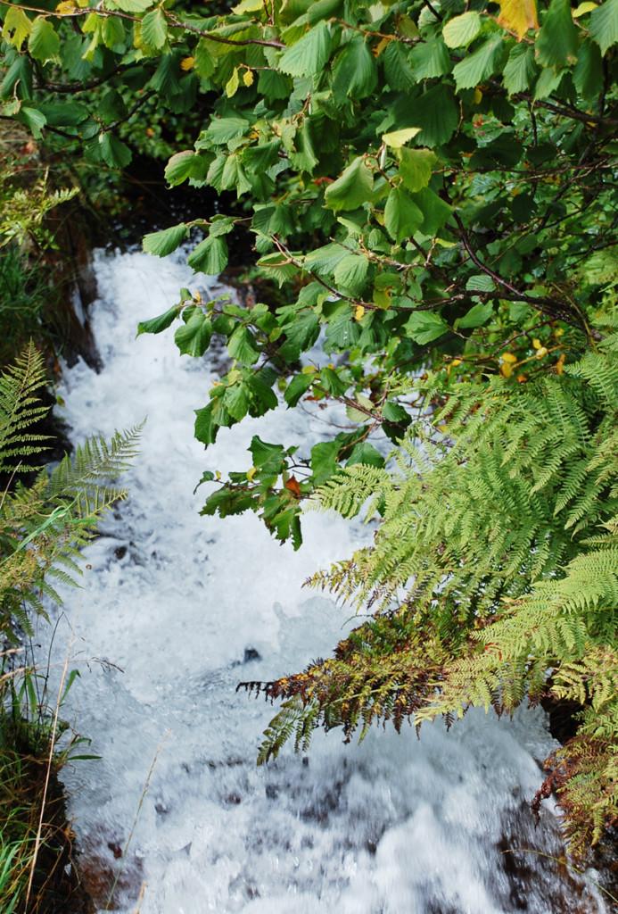 water fern2