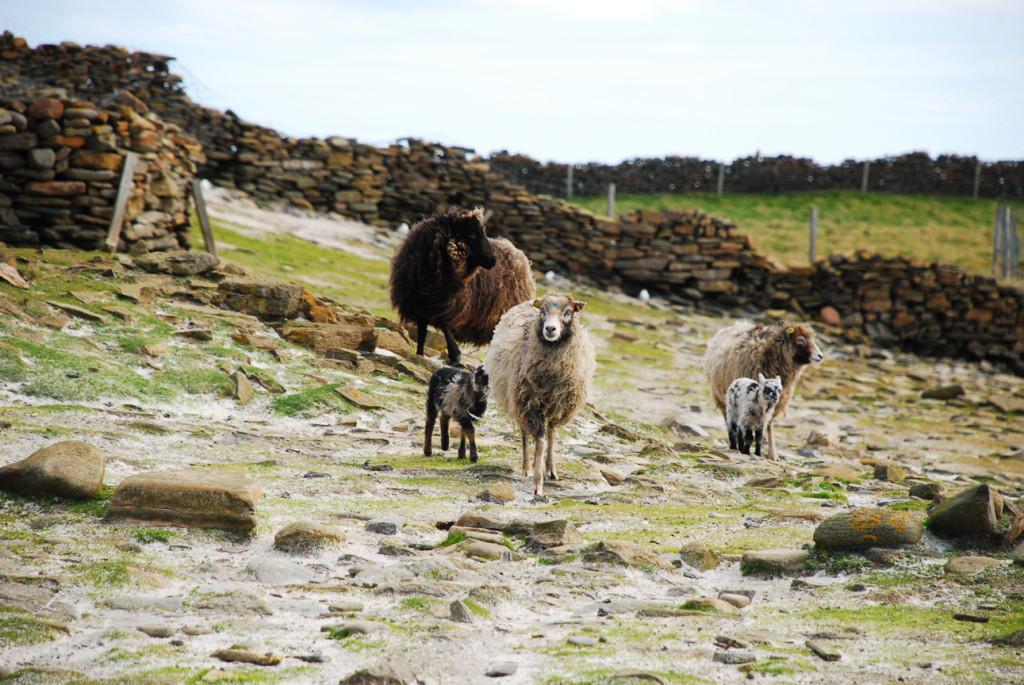 Orkney Spring 343