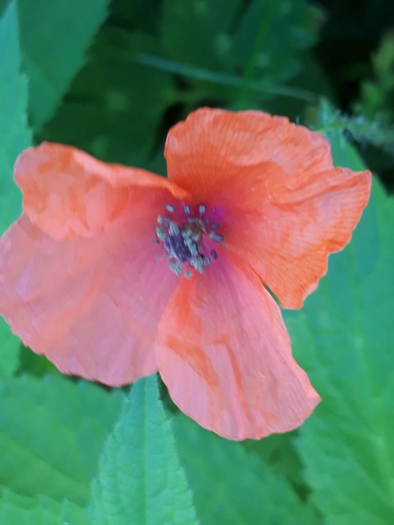 Red poppy 20200814_145955